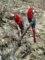Parrot – Ara macao