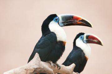 In de dag Toekan Red billed toucan