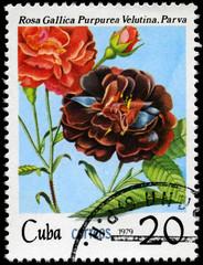CUBA - CIRCA 1979 Purple Rose