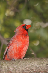 profile of a male cardina