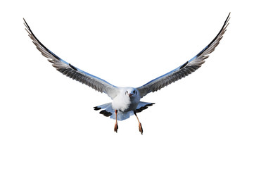 White isolated seagull
