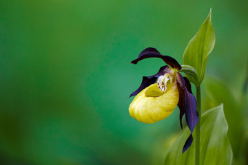 lady's-slipper orchid, Cypripedium calceolus 05