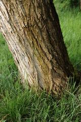 alberi 955