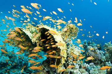 yellow coral with orange fish