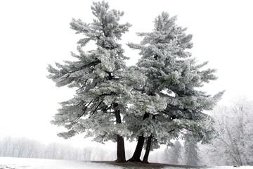 Snowy tree, alone in the snowy field