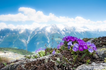 Pink alpine flowers in spring with mountain panorama