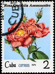 CUBA - CIRCA 1979 Pink Rose