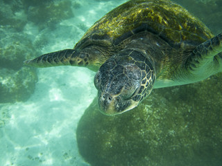 Large Sea Turtle Underwater