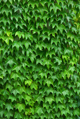 Texture of leafs