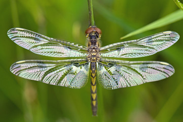 Dragonfly with wings stretched out