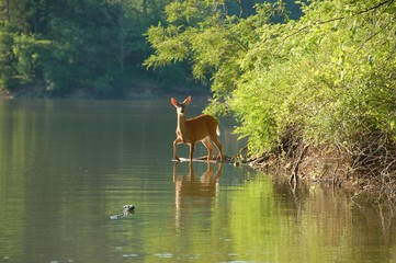 deer in the lake