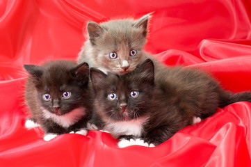 fluffy little kittens