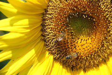 Two honey bees on Sunflower