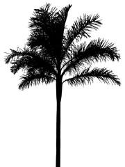 silhouette palmiste, fond blanc