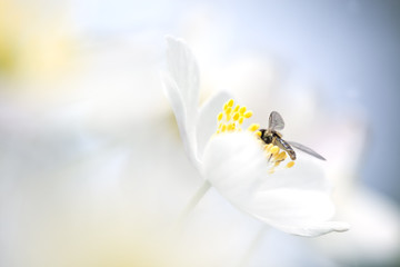 Small fly sitting in a Wood anemone. Macro photo.