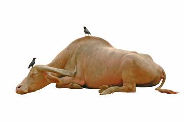 birds on buffallo