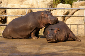 Hippopotamus - Couple - Zoo