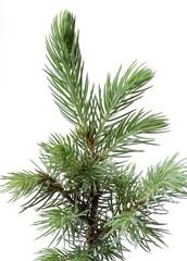 Small fir.