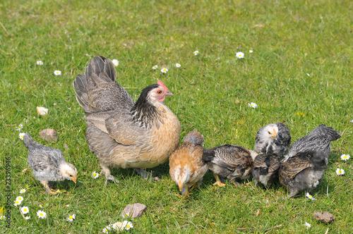 Poule et ses poussins picorant sur l 39 herbe photo libre - Poule et ses poussins ...