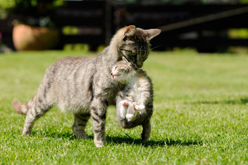 Mother Cat Scruffing Kitten