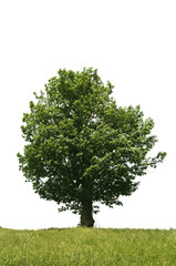 Excellent Isolated tree on white