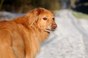Blonder Hovawart im Winter