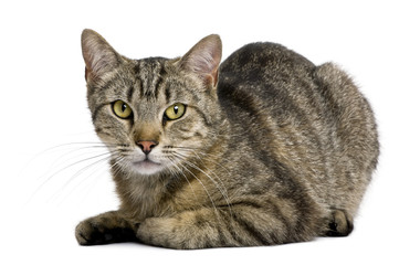 European tiger cat, 13 months old, in front of white background