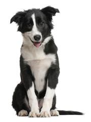 Border Collie puppy, 4 months old