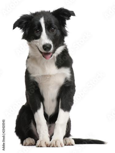 Fototapete Border Collie puppy, 4 months old