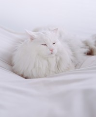 white, long-haired cat