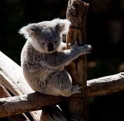 Koala Bear cuddling on a branch