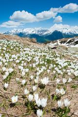 alpine flowers in spring