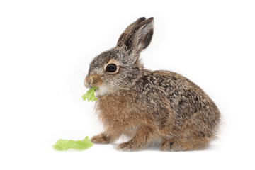 isolated easter rabbit
