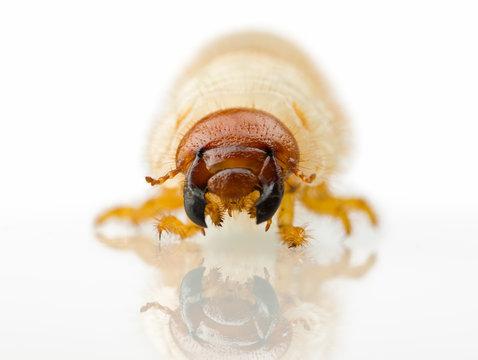 agricultural pest maggot larva