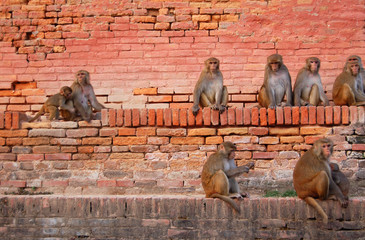 Monkeys sitting on a brick wall