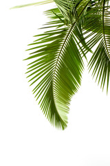 Canvas Prints Palm tree Leaves of palm on white background