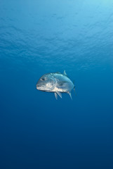 Giant trevally, turning in front of the camera.