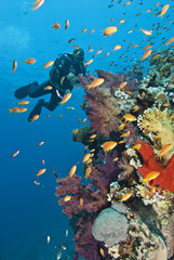 Diver approaching tropical colorful coral reef.