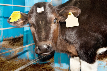 Small baby cow