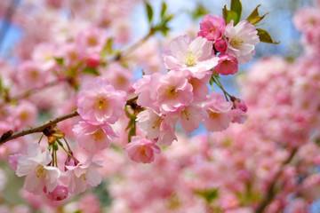 Branch of spring sakura blossom flowers