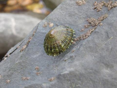 Limpet rock