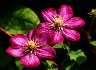 Makro zweier rubinrote Clematis - Blüten mit dunklem Hintergrund