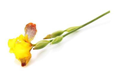 yellow iris,  isolated.