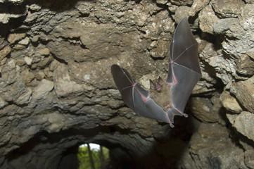 Jamaican Fruit Bat flying in cave under Maya in Tikal Guatemala.