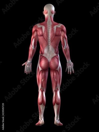 männliche Anatomie - Muskelsystem\