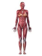 Muskelsystem der Frau