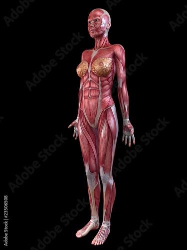 weibliche Anatomie - Muskelsystem\