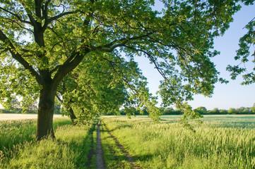Feldweg, Getreidefelder, Bäume