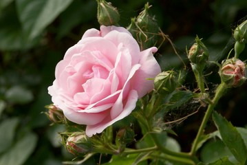 pretty pink rose on blooming shrub