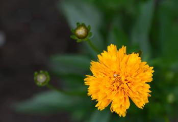 Studentenblume (lat. Tagetes patula)